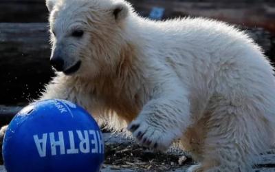 Zoológico en Berlín nombra «Hertha» a osa polar de 4 meses.